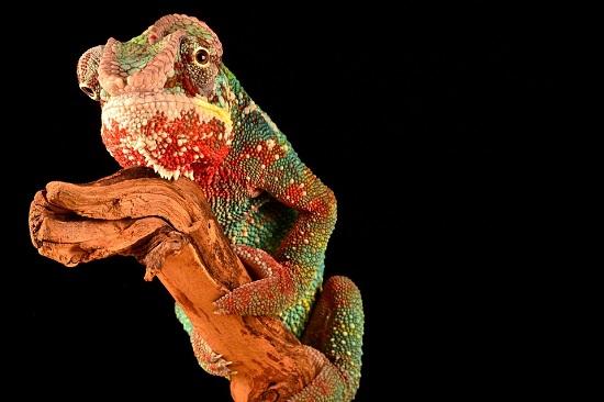 camaleon geminis