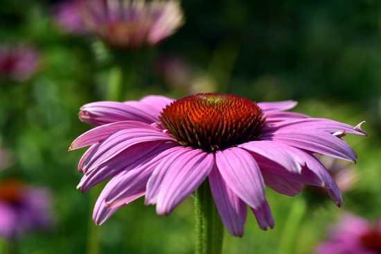 equinacea plantas medicinales
