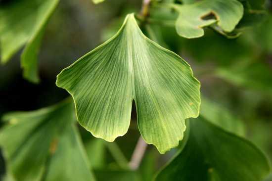 ginkgo biloba plantas medicinales