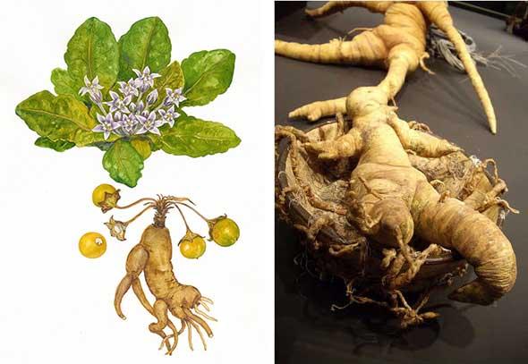 La mandrágora: los enigmas de la planta mágica