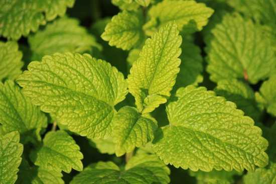 melisa planta medicinal