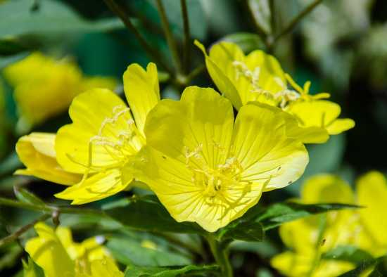 onagra plantas medicinales europa