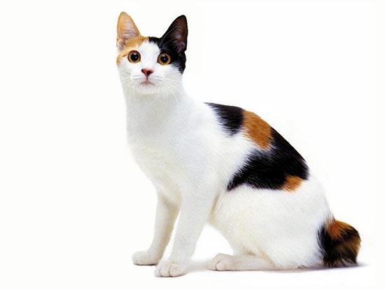 gato-raza-bobtail-japones