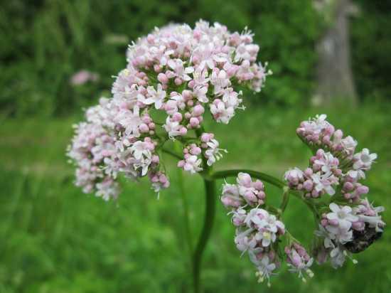 valeriana plantas medicinales europa
